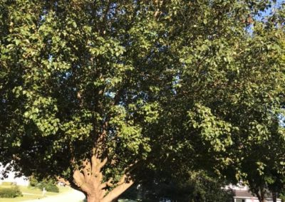 FB08132019-tree-services-raleigh-14